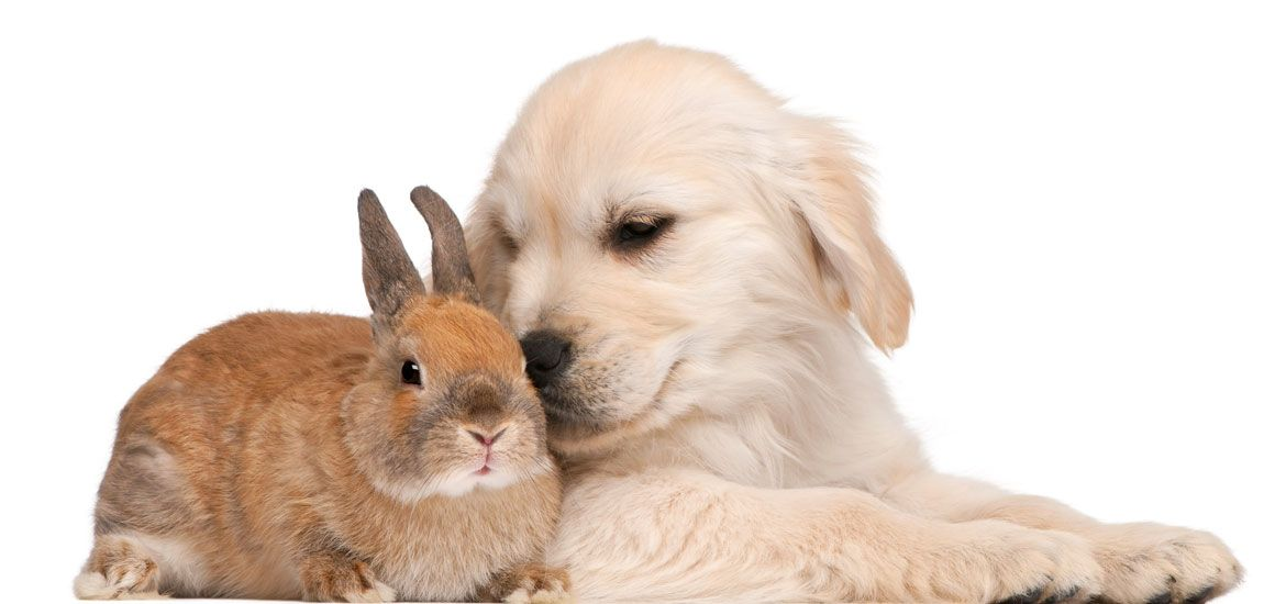 Dogs and bunnies are an unusual pairing. Since many breeds of dogs naturally hunt rabbits, they typically do not coexist. For years I was an apartment dweller and had rabbits; I have always loved themand they were wonderful pets for my particular living situation. I kept telling myself when I was in a home with …