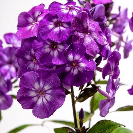 Hohe Flammenblume violett / Phlox paniculata violett