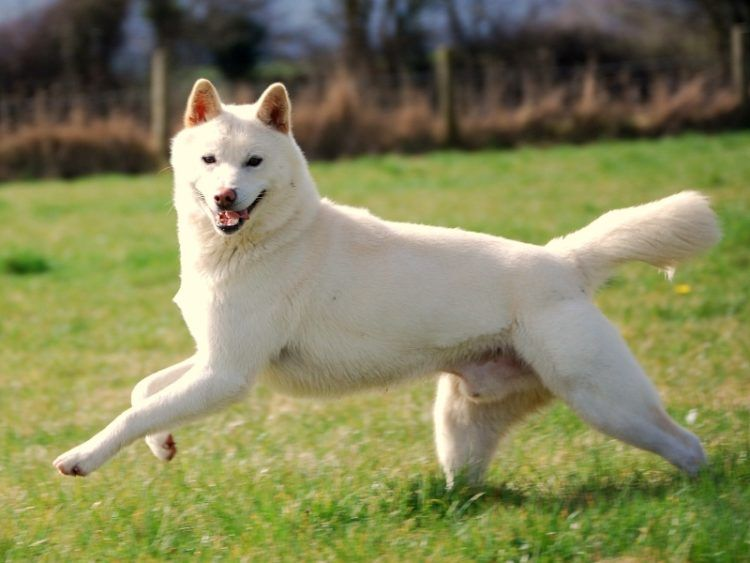 10 Things You Didn T Know About The Korean Jindo Dog Names Dog