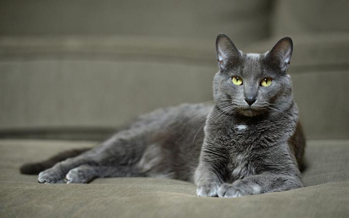 Download Wallpapers Korat Cat 4k Pets Cute Animals Gray Cat Cats Domestic Cat Korat Besthqwallpapers Com Cat Breeds Rare Cat Breeds Korat Cat