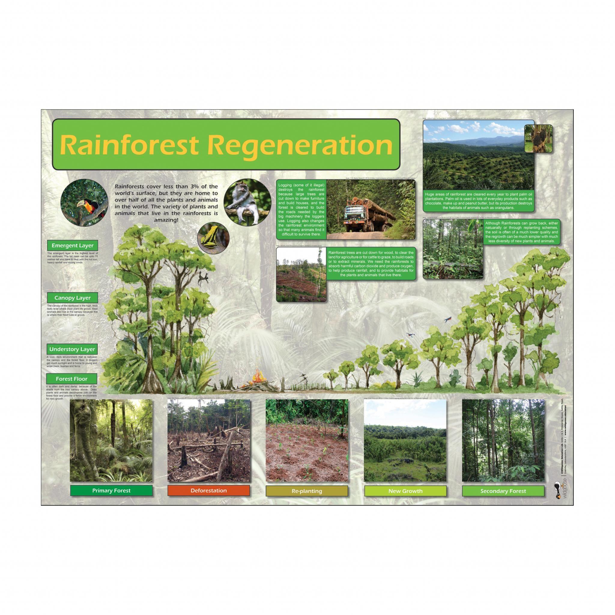 Rainforest Regeneration Poster