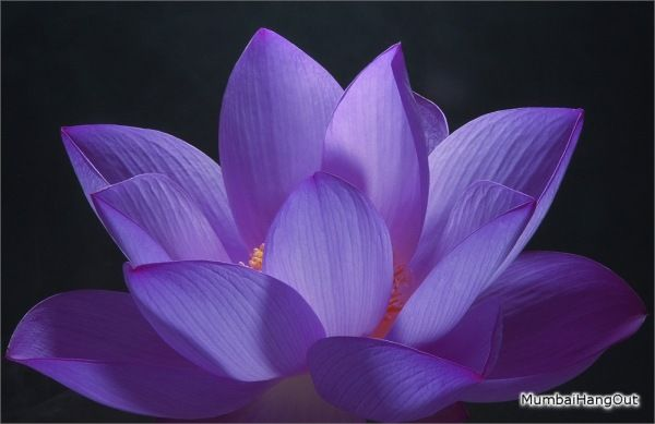 So pretty nature flowers pinterest flowers purple lotus 25 exotic flowers you would love today mightylinksfo
