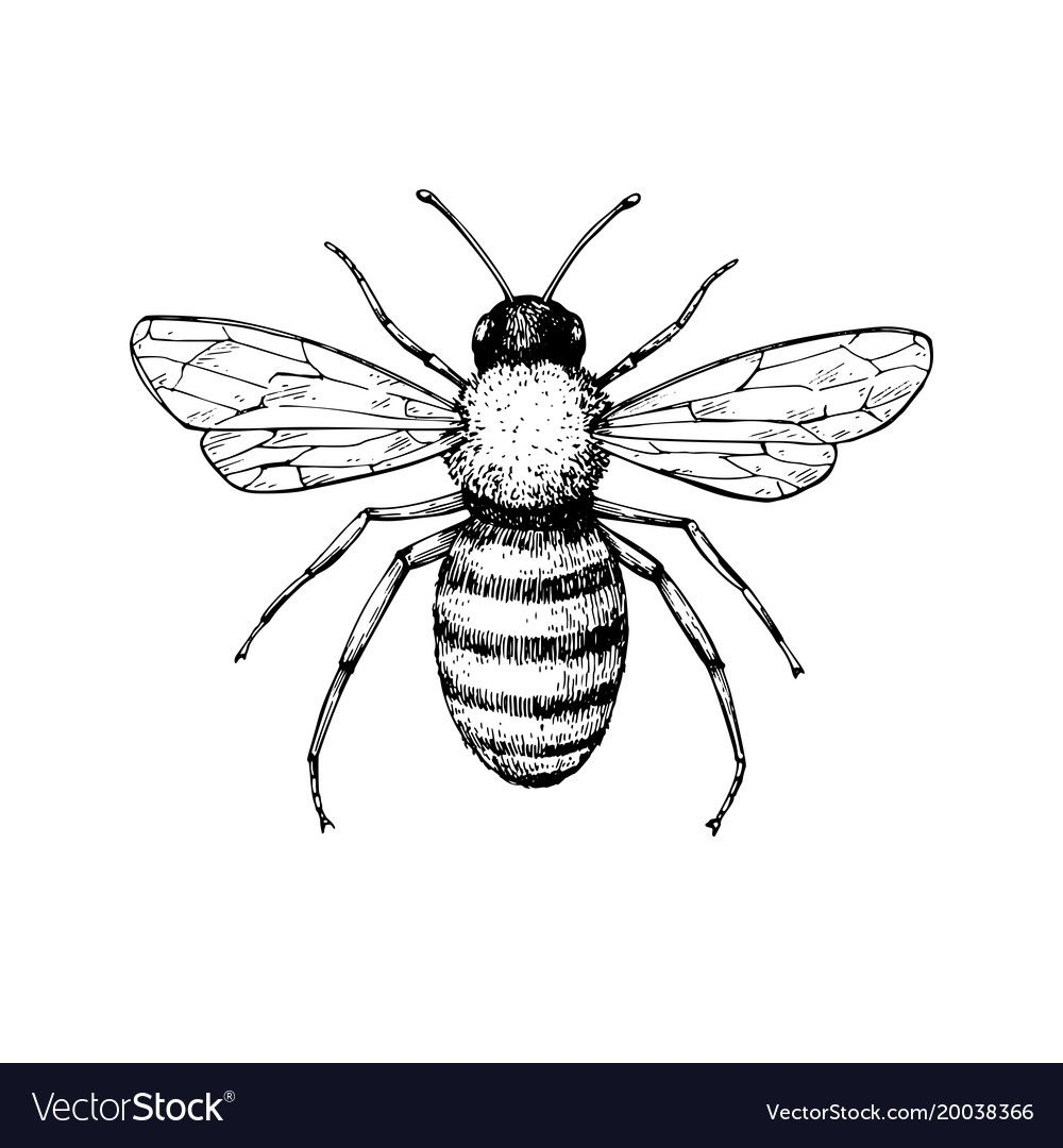 Honey Bee Vintage Drawing Hand Drawn Vector Image On Bee Drawing