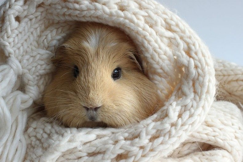 16 Pictures of The Cutest Guinea Pigs in this World. Here Are Booboo and His Best Friends