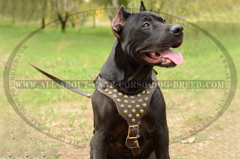 Exquisite Leather Dog Harness With Goldish Studs For Pitbulls