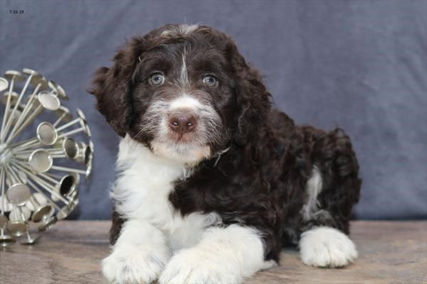 Petland Kansas City Has Aussiepoo Puppies For Sale Check Out All