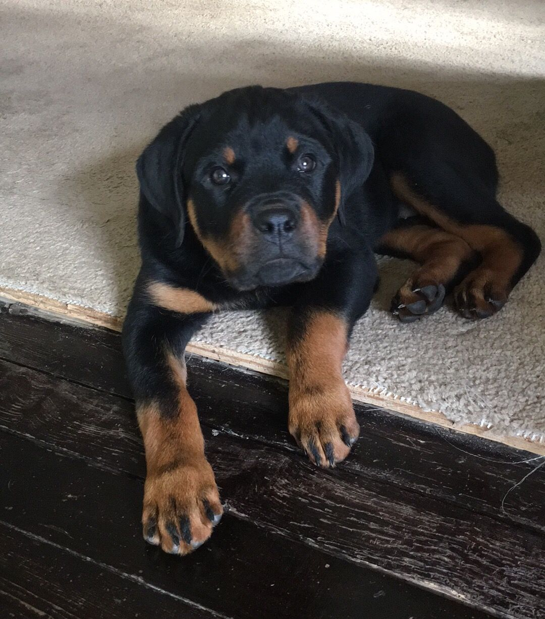 My Female Rottweiler At 12 Weeks Rottweiler Animals Friends