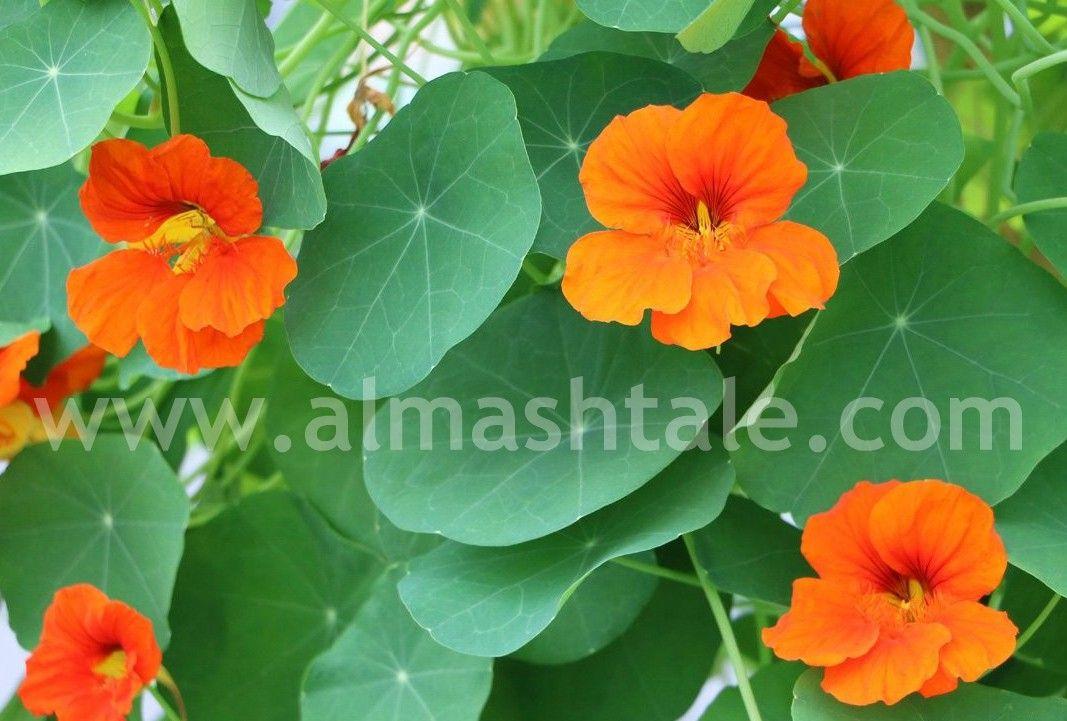 نبات أبو خنجر من الحوليات الشتوية المزهرة والنبات كثيف الخضرة أوراقه ذات لون أخضر شاحب وهو متسلق ويمكن ان يتم زراعته في هانج Plants