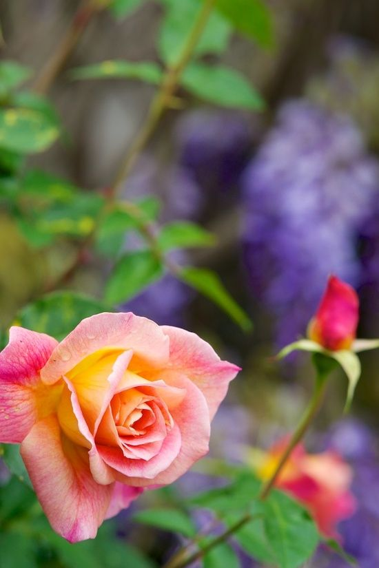 Rose...❀