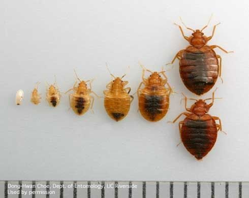 Various Life Stages Of Bed Bugs Bed Bugs Bed Bug Bites Bed