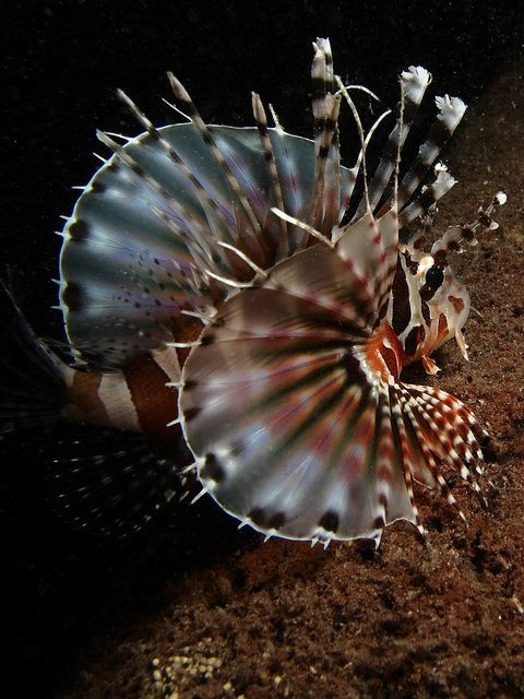 Lion fish - Great angle