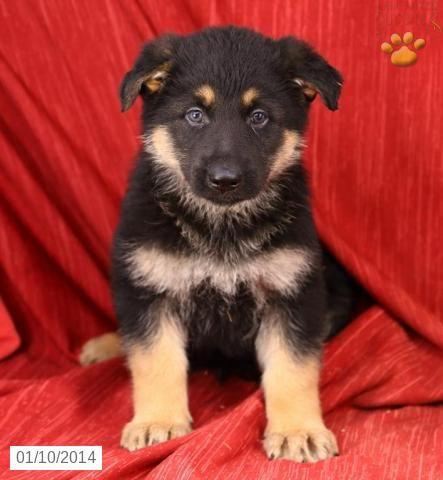 German Shepherd Puppy For Sale German Shepherd Puppies Puppies Puppies For Sale