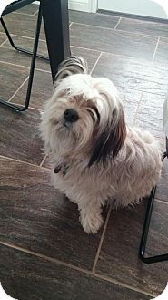 Edmond, OK - Havanese  Meet Scarlett a Dog for Adoption