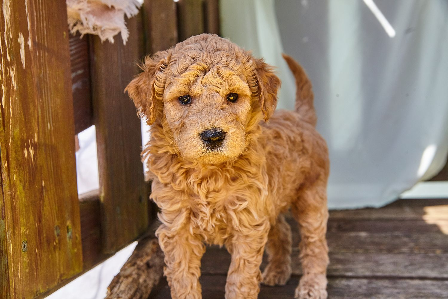 Here At Our Family Puppy We Have A No Puppy Mill Promise Our Pups Are Vaccinated 2 Times And Dewormed Every Two Weeks So The Puppy Mills Puppies Goldendoodle