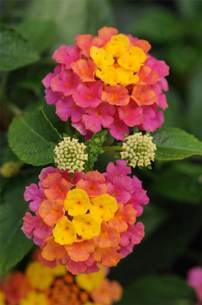 Confetti Lantana Plant Live Plant 6 Pot Multicolor Plant In 2020 Lantana Flower Beautiful Flowers Flower Garden