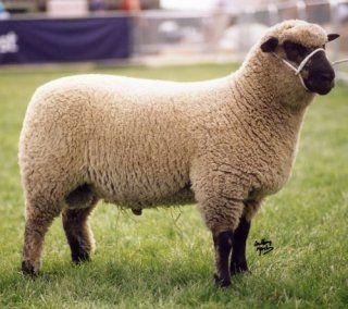 Shropshire Sheep Breeders' Association - galleries - Shropshires