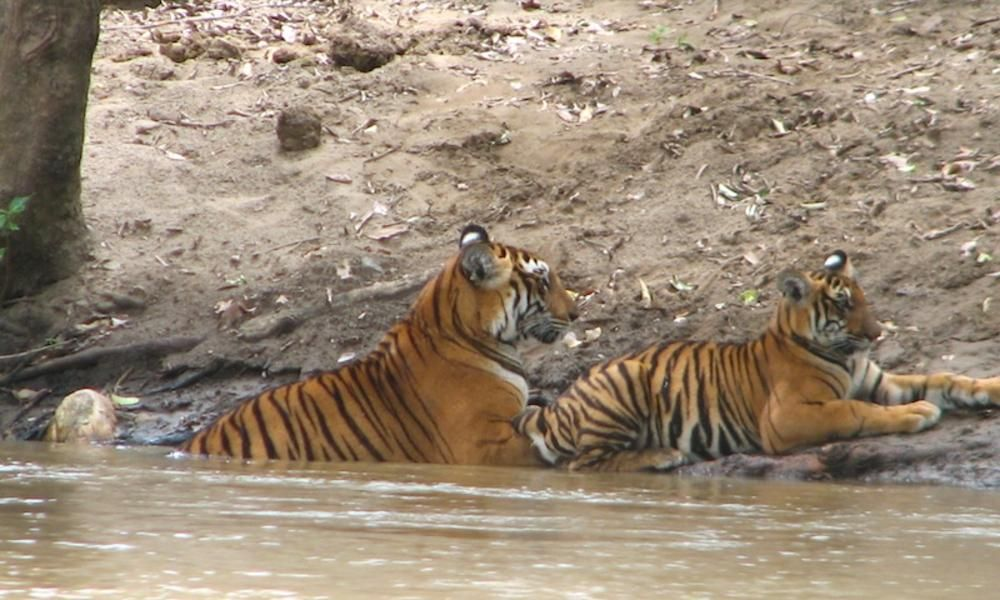 Image result for Rain brings life to Sathyamangalam Tiger Reserve, wild animals return