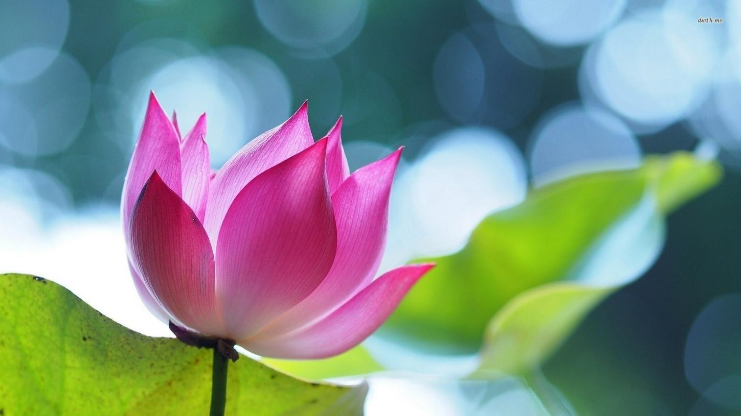 Lotus flower graphic name 18827 lotus 1920x1080 lotus flower lotus flower graphic name 18827 lotus 1920x1080 izmirmasajfo