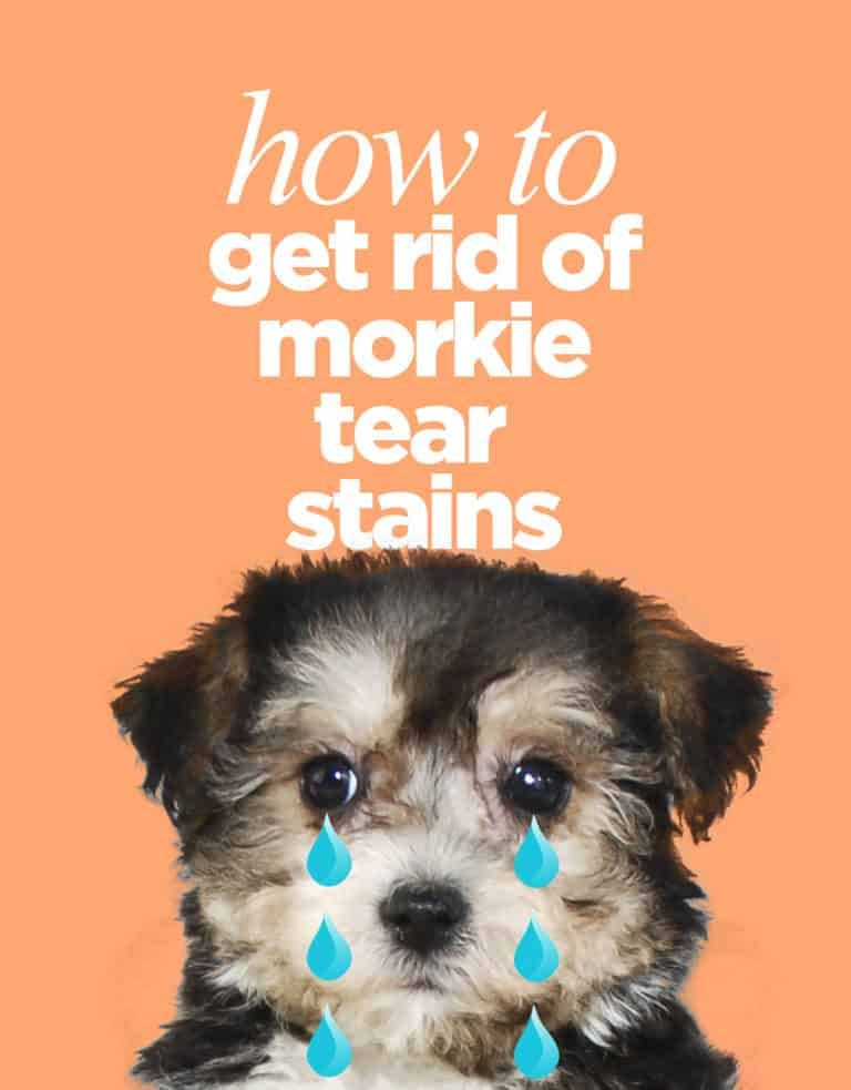 How to get rid of morkie tear stains morkie morkie
