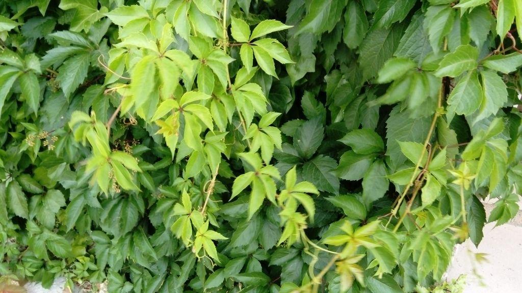 Parthenocissus quinquefolia (L.) Planch. | Hojas compuestas, Plantas ...