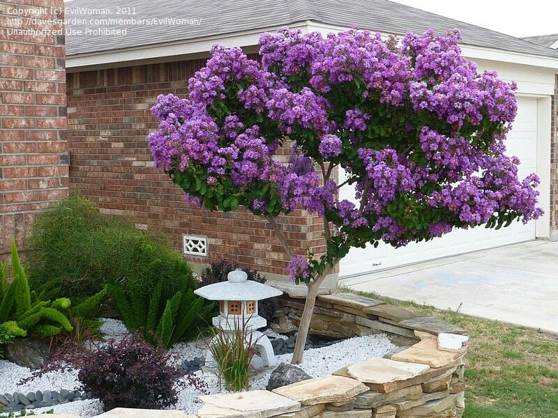 Purple crepe myrtle tree this tree comes in red maroon for Small garden trees for sale