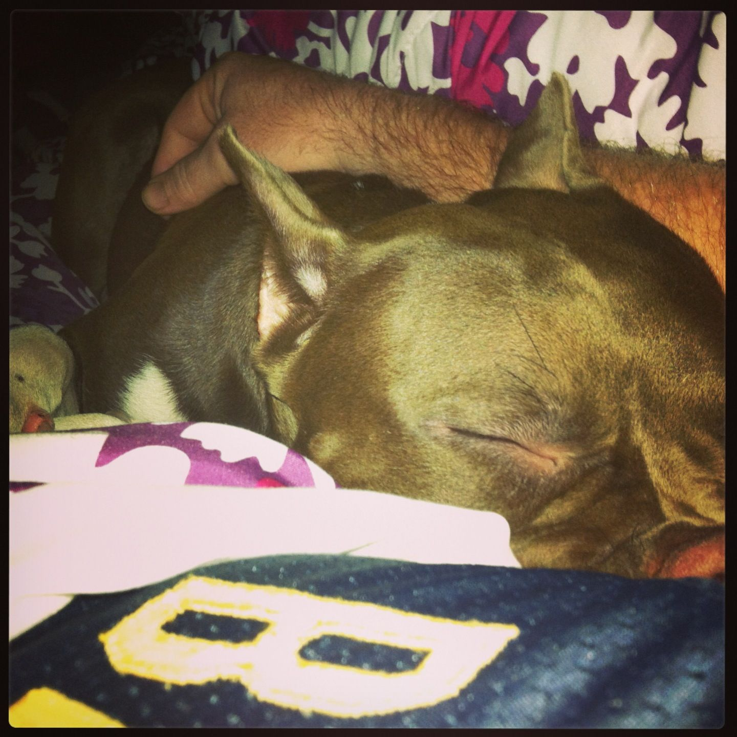Sweetest dog alive. American bully, Sweet dogs, Mans