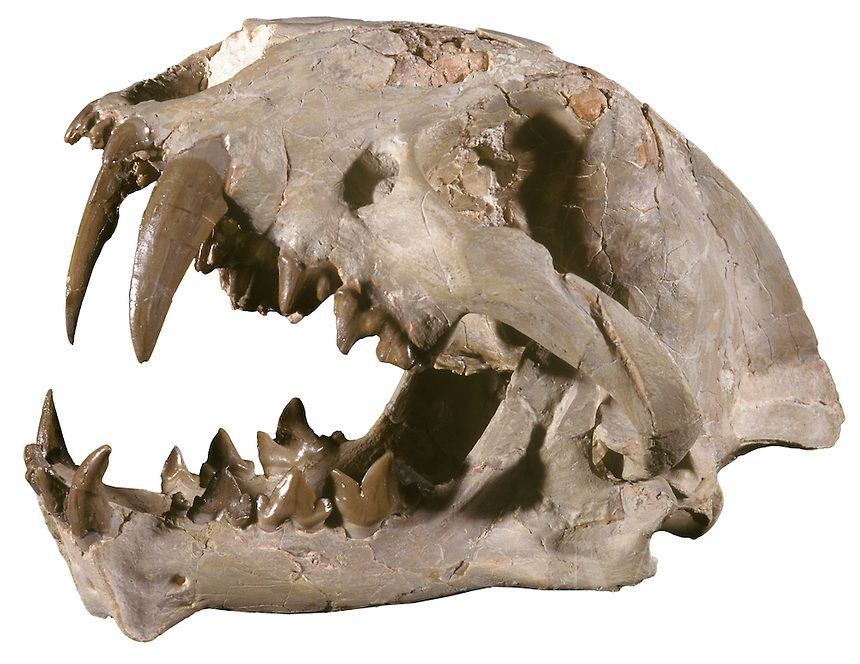 Saber Tooth Cat Skull, Dinictus squalidens, Oligocene, South Dakota