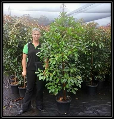 Pin By Green Results On Native Australian Trees Garden