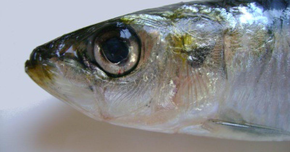 Resultado de imagem para sardinhas anchovas