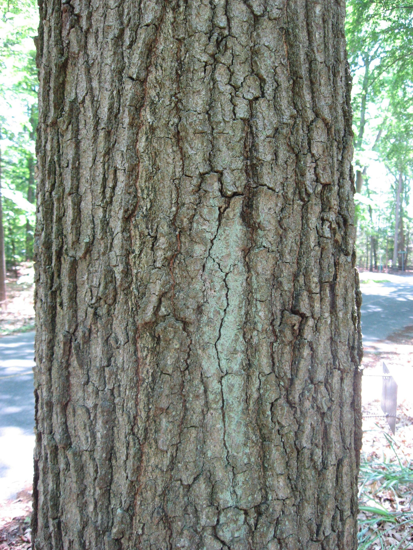 Quercus phellos Willow oak. Bark. Family Fagaceae