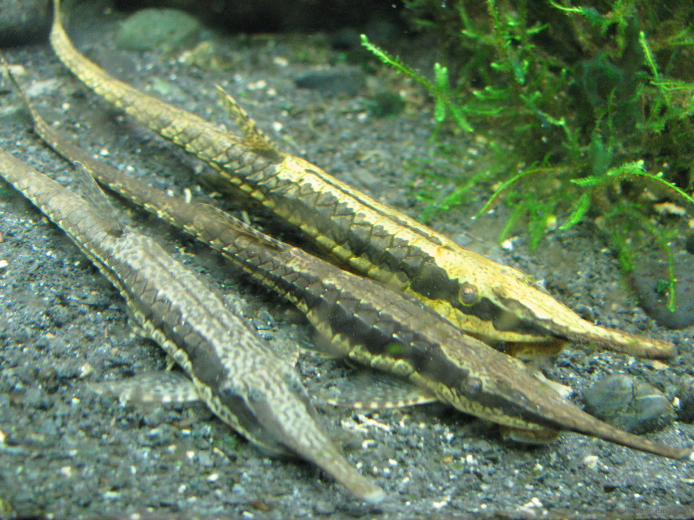 Freshwater aquarium fish information - Farlowella Catfish Twig Catfish