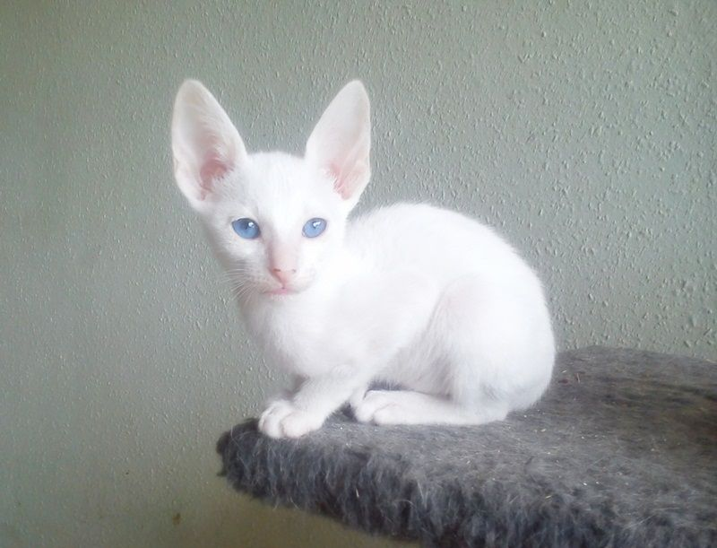 Foreign White Siamese Cat With Images White Cats