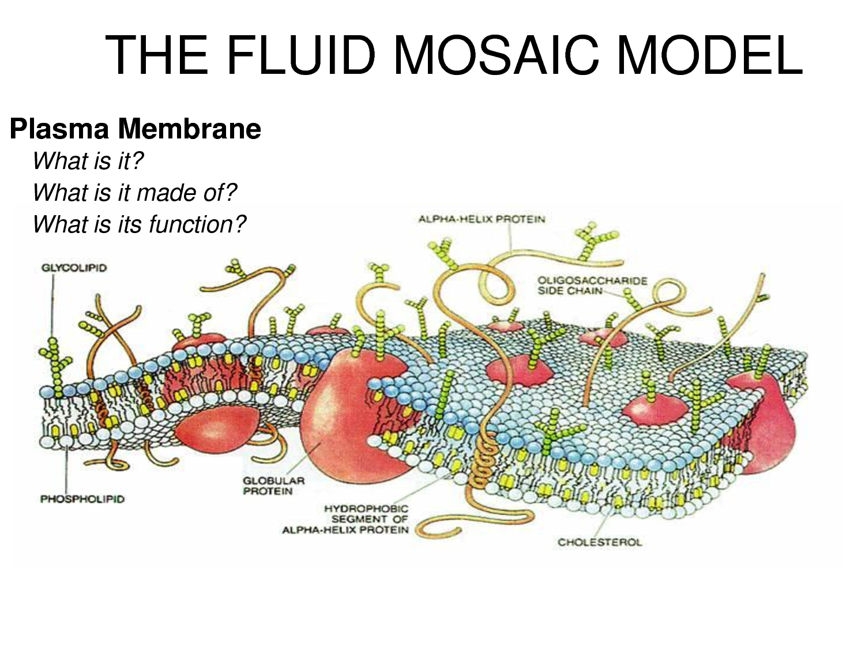 Cell membrane model bing images biology pinterest cell cell membrane model bing images pooptronica