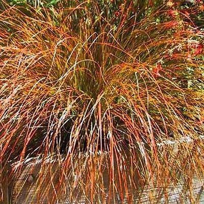 carex 'bronze reflection' maybe at top of yard along the street,