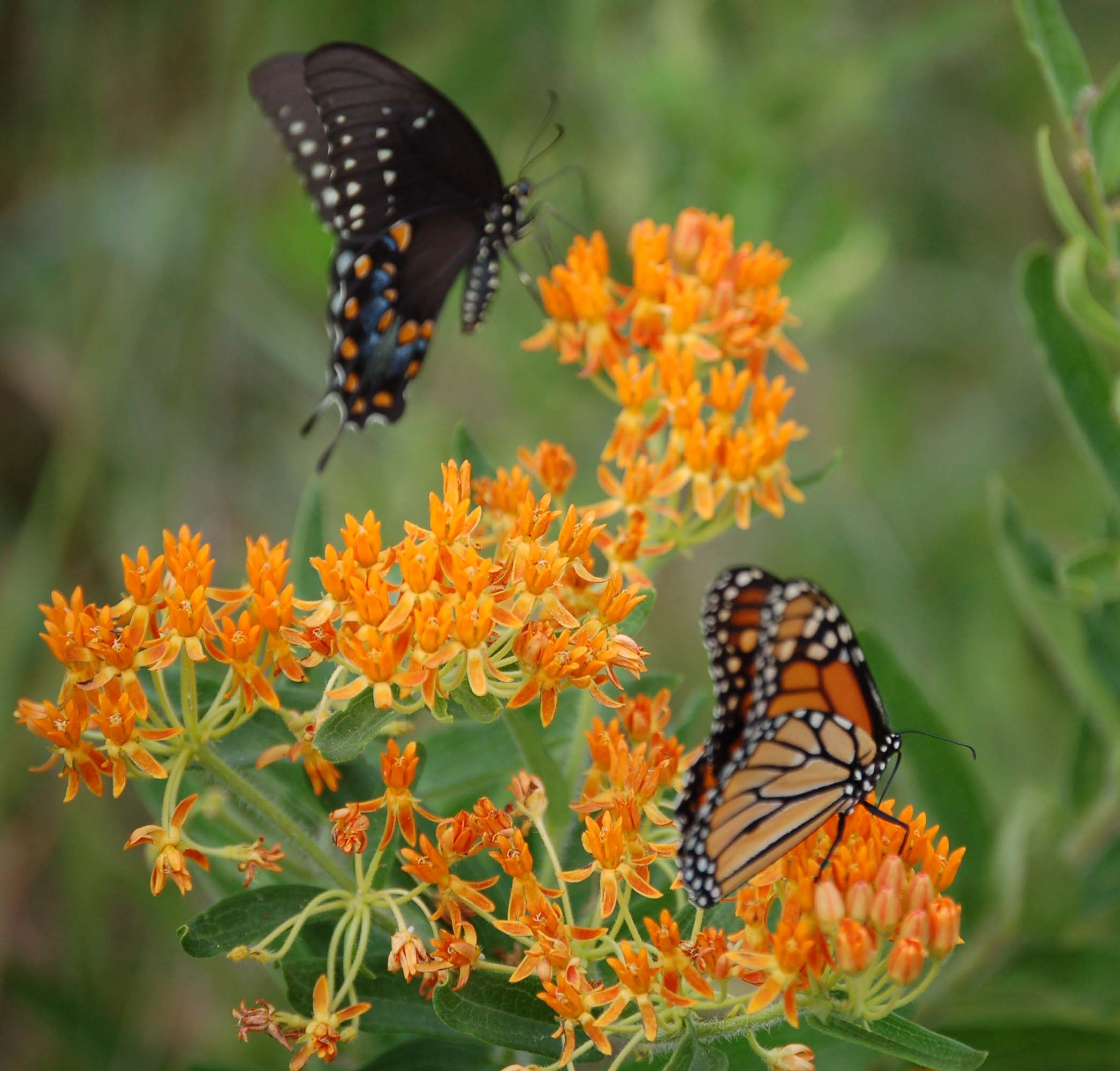 Attractive plantings like the milkweed, which draw monarch butterflies, are important for maintaining the ecosystem and plant health.