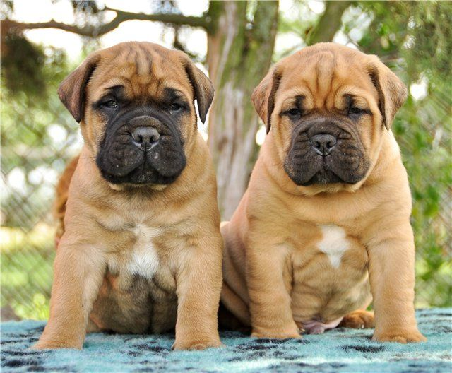 View Topic Bulmastifs Bullmastiff Bull Mastiff Bull Mastiff Puppies Bull Mastiff Dogs