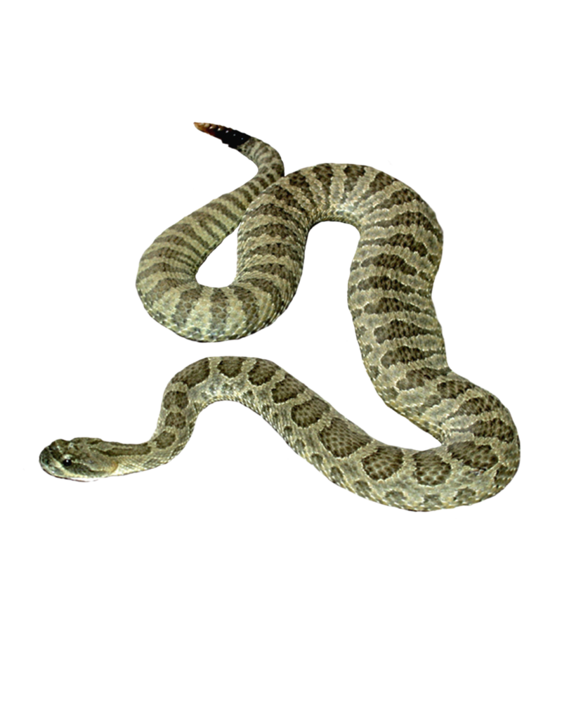 Free Png Google Search Snake Snake Images Png Images