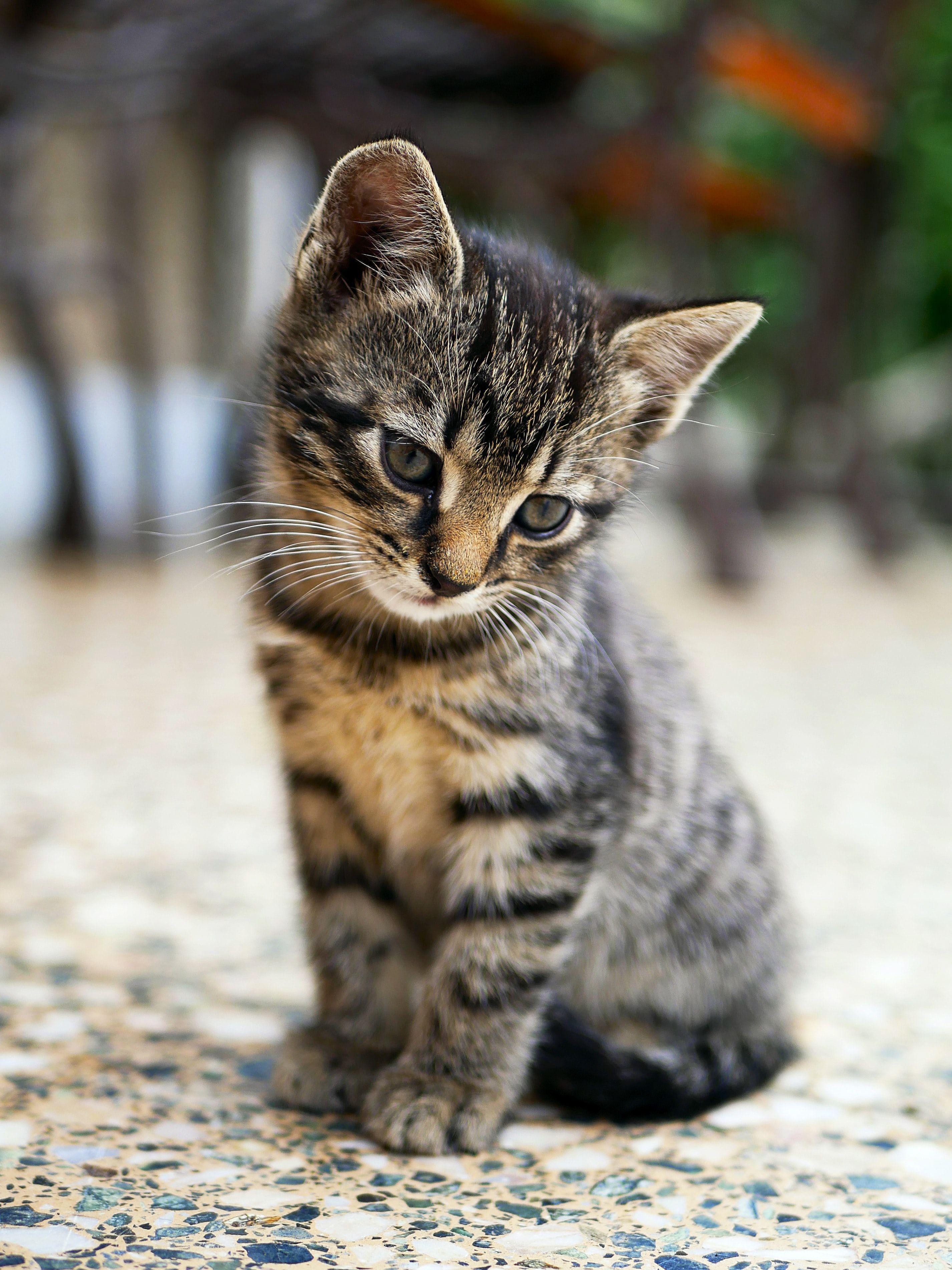 Pin Oleh Indah Lestari Di Cat Di 2020 Anak Kucing Menggemaskan Kucing Tabby Binatang Lucu