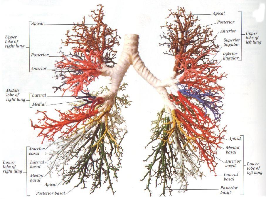 Bronchial Tree Diagram Pt School Pinterest Respiratory System