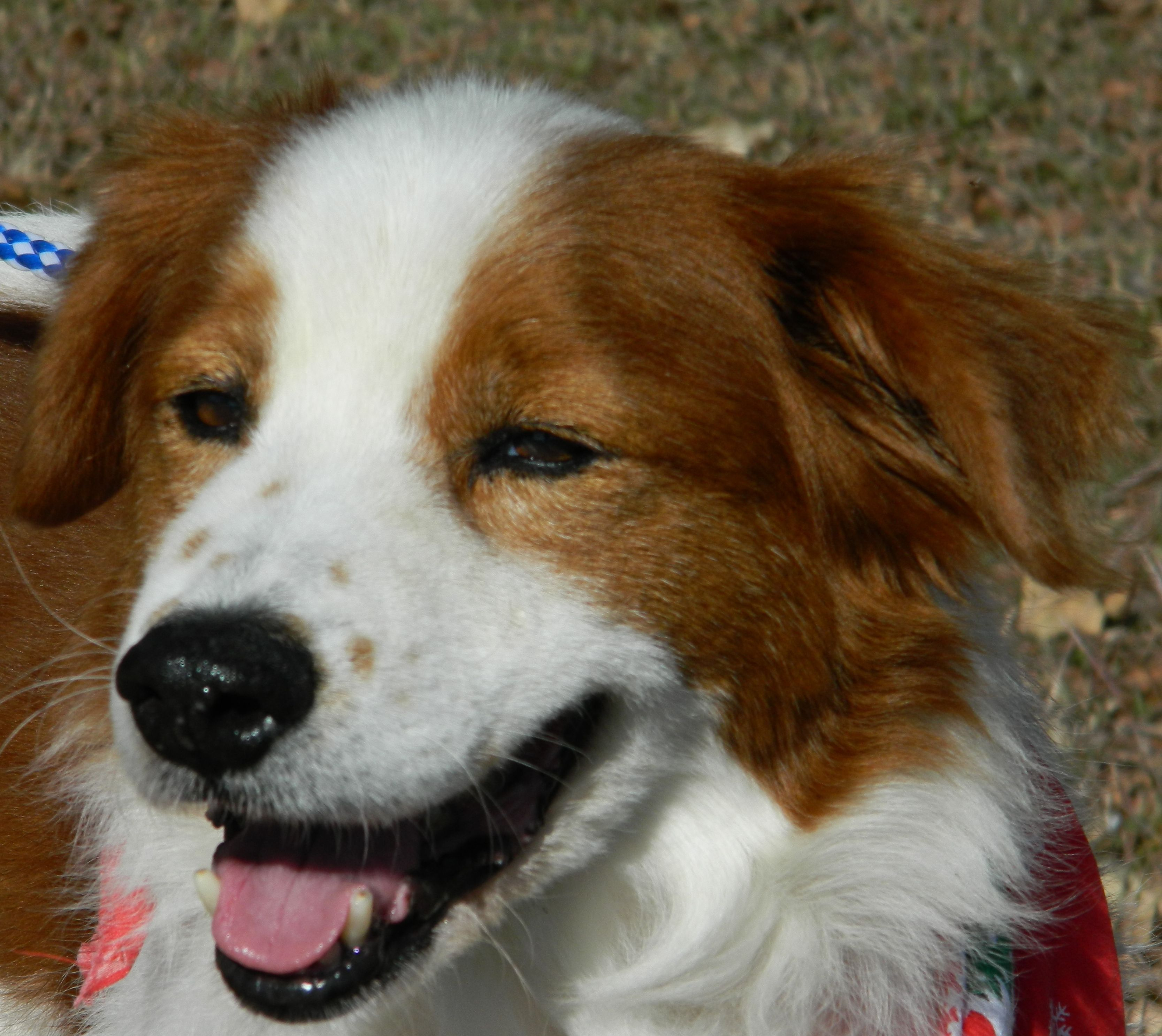 Adopt Archie On Brittany Spaniel Dogs Brittany Spaniel Pets