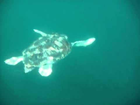 "Virginia Living Museum Loggerhead Sea Turtle - RELEASING ABBY: VLM Aquarium Curator, Chris Crippen captured this underwater video of ""Abby"" being released on 10/17/13 20 miles off shore of the North Carolina Aquarium in Pine Knoll Shores. The turtle was tagged along with other turtles from other aquariums. ""Abby"" was the biggest weighing over 190 pounds. If all goes well we should be able to track the turtle as it migrates south ~ just search for ABBY http://www.seaturtle.org/tracking/"