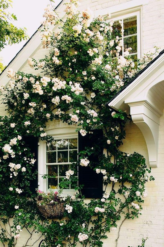 Our roses are charmingly (is that a word?) climbing over the cottage. It's lovely when inside to look out and see pretty flowers entwined around the windows............
