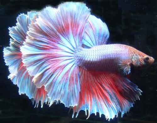 Half Moon Betta Fish Picture Peces Bonitos Peces De Acuario Pez Betta