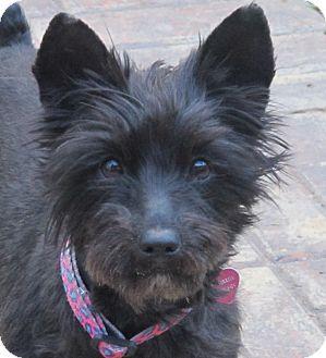 Plainfield Ct Schnauzer Miniature Yorkie Yorkshire Terrier Mix Meet Shatzi A Dog For Adoption Terrier Mix Dog Adoption Yorkshire Terrier