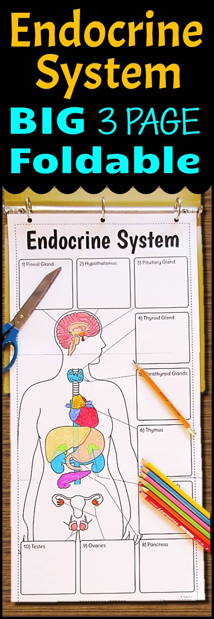 Endocrine System Study Guide With Answers Q&A | NRSNG