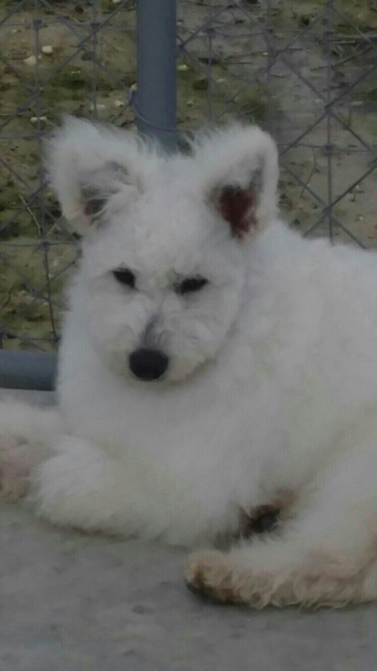 Pumi Of South Texas Hungarian Pumi Puppies With Images South Texas Puppies Animals
