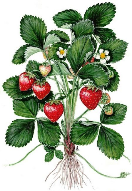 quotgarden strawberryquot by sue abonyi strawberries