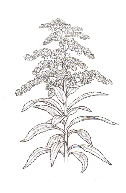 State Flowers Coloring Pages Flower Sketches Goldenrod Flower Flowers