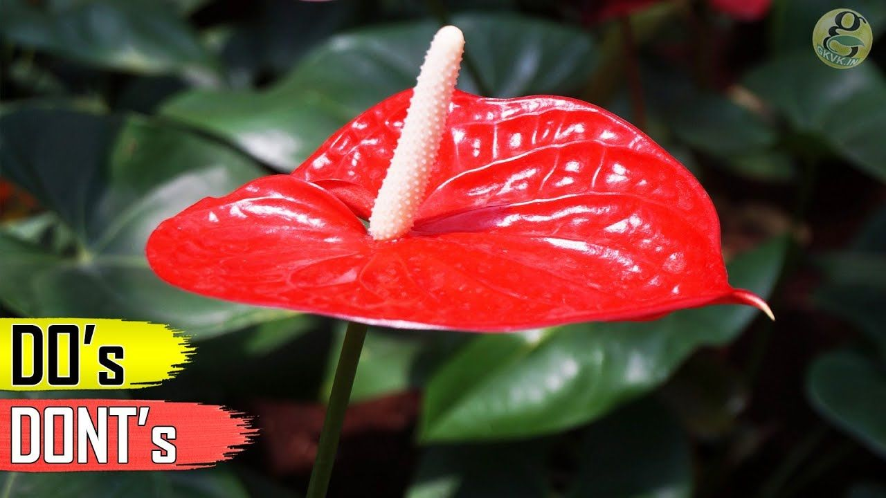Anthurium Plant Care Tips Indoor Flowering Plant Indoor Flowering Plants Anthurium Plant Plant Care