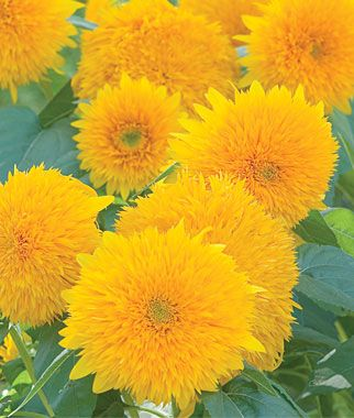 Teddy Bear Sunflower Seeds And Plants Annual Flower Garden At Burpee Com Annual Flowers Flower Garden Planting Sunflowers